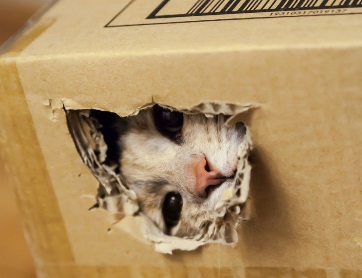 Cat peering through a ragged hole she tore in a cardboard box