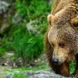 В Сергиево-Посадском районе обнаружили следы пребывания бурых медведей