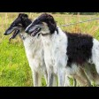 Курсинг – удовольствие для собак и владельцев