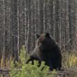 В Подмосковье растет популяция краснокнижного бурого медведя
