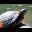 Черепаха обосновалась в Белом пруду