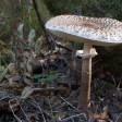 Осенние «зонтики», или как превратить гриб в курицу