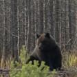 Неспящие медведи