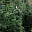 В Сергиевом Посаде елку можно будет купить по цене 500 рублей за метр