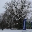 Проголосовать за Абрамцевский дуб в конкурсе «Европейское дерево года» можно до марта