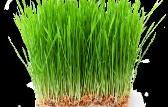 vimergy-wheatgrass-g