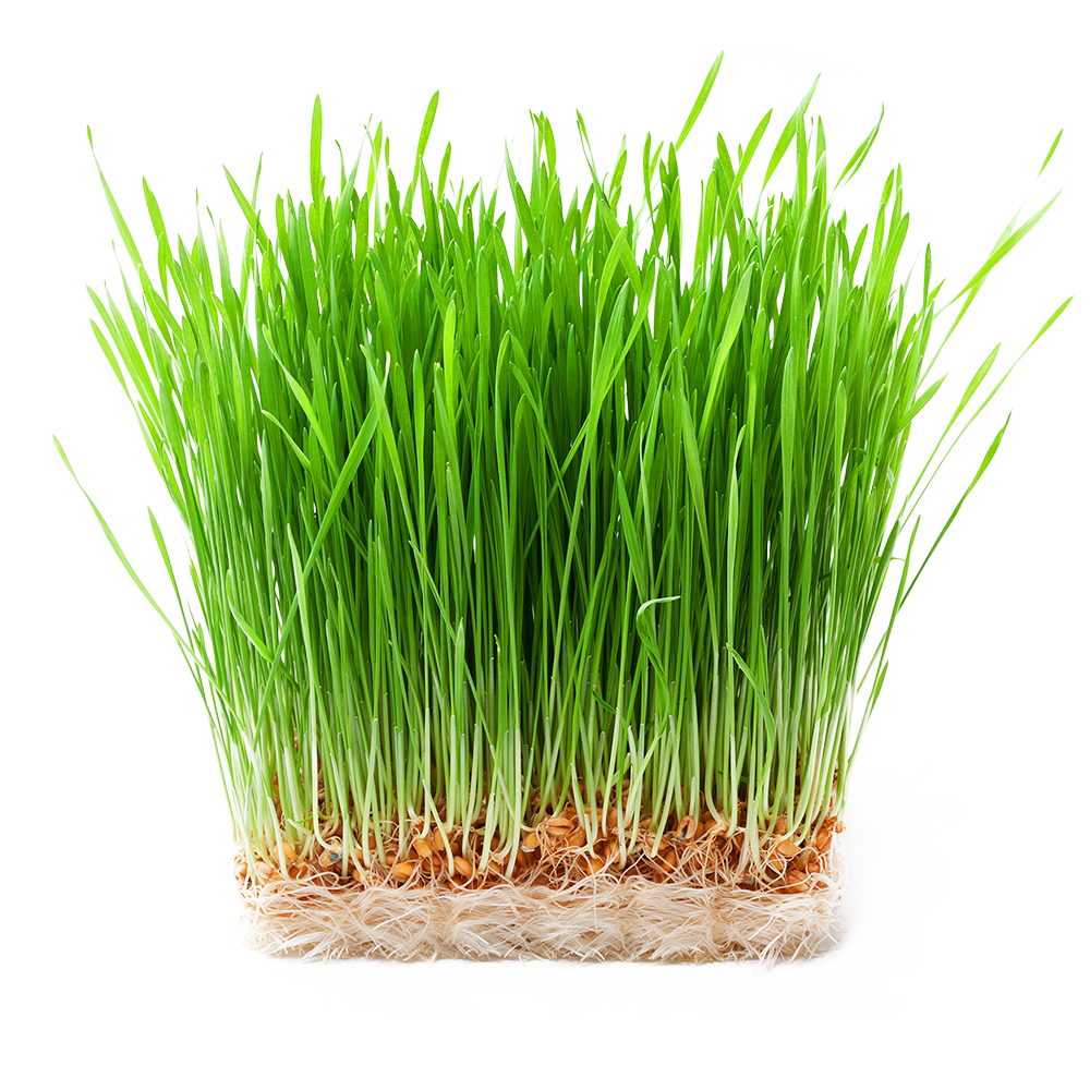 vimergy-wheatgrass-g