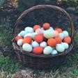 Несущую зеленые яйца карликовую курицу выведут в Подмосковье