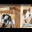 Нубийские козы кричат «Ма»!