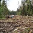 «Лес Победы»: туи в Посаде, ёлки в Совхозе