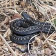 Сезонная угроза: все, что нужно знать о змеях, отправляясь в лес