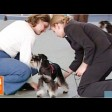 Маленькая супер-собака – цвергшнауцер