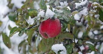 Red apple snow nestled in the garden. Nature