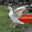 Особенности домашнего птицеводства