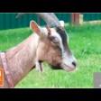 Как москвичка коз в деревне завела