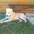 Пса, который выжил в смертельном ДТП, ищут в Сергиевом Посаде