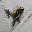 В Подмосковье массово гибнут  птицы