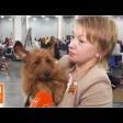 Австралийский терьер – собака для тех, кто молод душой