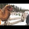 Как животные этнопарка «Кочевник» переносят тёплую влажную зиму