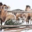 Новогодние ёлки сергиевопосадцев скормили верблюдам в рамках экологической акции