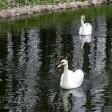 У лебедя на Белом пруду новая подруга
