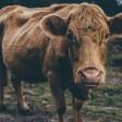 Жители под Сергиевым Посадом пытаются спасти коров от издевательств хозяйки