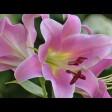 «Цветы Сергиева Посада» оценивает экспертная комиссия