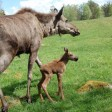 Семейство лосей обнаружили у деревни Ворохобино