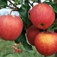 Саженцы яблони из нашего интернет магазина по доступным ценам с сертификатами