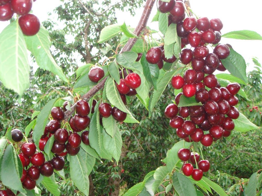 cherry-pic-a