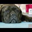 Кане-корсо – собака Понтия Пилата