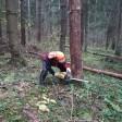 В лесах Сергиево-Посадского округа идут санитарные рубки