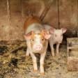 Свиновирус поднимает голову