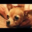Той-терьер: маленькая собака, которая чувствует себя большой