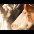 Сергиево-Посадский округ удерживает лидерство в производстве молока