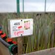 Цветы от фермерского хозяйства «Дарю весну» в Марьино ждут своих покупателей