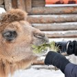 Корми верблюдов – спасай планету!