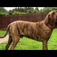 Все о породе собак фила бразилейро, а также советы ветеринара