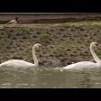 На Белый пруд возвращаются белые лебеди