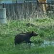 Подробности о медведе, которого видели около Сергиева Посада