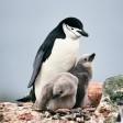 11 Важных фактов о пингвинах