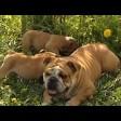 Бульдог - плюшевая игрушка или страшная собака?