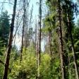 Лес у Васьково вырубают в санитарных целях из-за короеда
