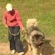 Кавказская овчарка - древнейшая, пастушья и сторожевая собака